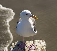 Seagull from Avila Beach, CA by Steve Hunter