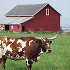 Longhorn and Red barn by Tori Snow