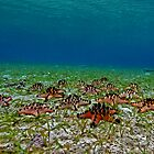 Seastars by the seagrass shore by daveharasti