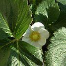 Strawberry Flower by Ilunia Felczer