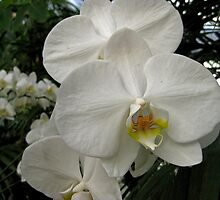 White Moth Orchid   All About Flowers by Linda Miller Gesualdo