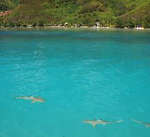 Multiple Black Tip Reef Sharks, Moorea by Tyler  Core