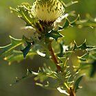 Yilgarn Dryandra by Michael Fotheringham Portraits