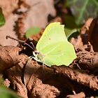 """"""" Brimstone In A Wooded Glade """" by Richard Couchman"""