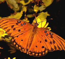 Gulf Fritillary by Lisa G. Putman