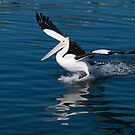 Pelican waterskiing by johnrf