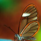 glasswings by Manon Boily