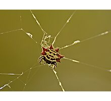 Spiny Orb Weaver Photographic Print