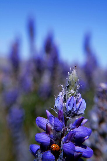 Lady Bug Lupin, Eastern Sierra by Tyler  Core