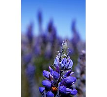 Lady Bug Lupin, Eastern Sierra Photographic Print