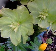 Hellebore and Aconite by hilarydougill