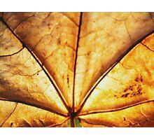 Maple leaf (brown leaf)... Photographic Print