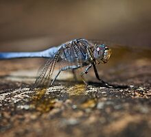 Blue Dragonfly on Rock by Mark Snelson