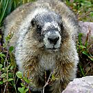 Curious Marmot by Robert Yone