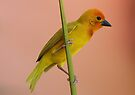 Golden Palm Weaver 1 by David Clarke