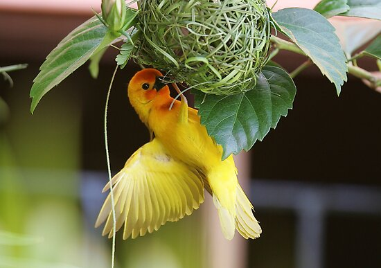 Golden Palm Weaver 5 by David Clarke