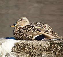 Female Mallard hen sunning herself on the Concord River by riverlady