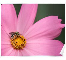 Bee on a Daisy Poster