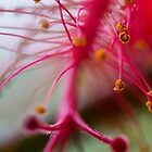 Hibiscus' stamens by indiafrank