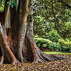 Moreton Bay Fig. by Bette Devine