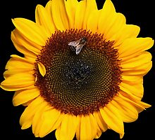 sunflower and friend by Gustavo Bodini