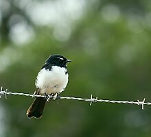 Willy Wagtail by Neil Swenser