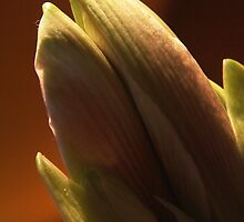 Amaryllis of Bud  by Antanas