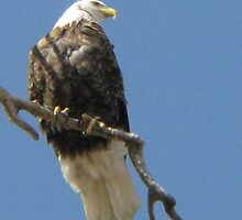 Bald Eagle by lilv123