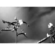 Sweet Pea Flower in Black and White Photographic Print