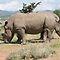 African Rhinos!