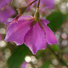 Tibouchina by Ann  Palframan