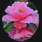 Camellia wears Pink.......... by lynn carter