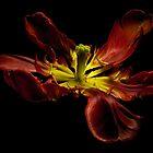 The dancing tulip by EbyArts