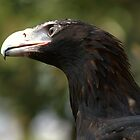 Wedge Tailed Eagle by Michael Fotheringham Portraits