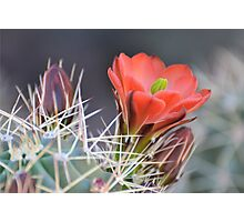 Early Cactus Bloom Photographic Print