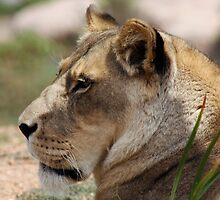 Lioness by sarah ward
