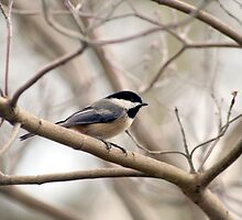 black capped Chickadee by SKNickel