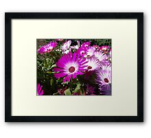 Gazania - Pink Treasure Framed Print