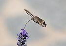 Humming Bird Moth 4 by David Clarke
