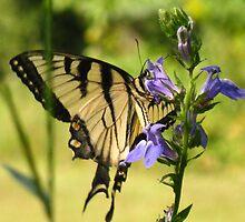 Tiger Swallowtail #2 by CynLynn