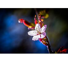 Sakura - Japanese cherry flower Photographic Print