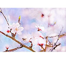 Japanese Cherry - Sakura In Bloom Photographic Print