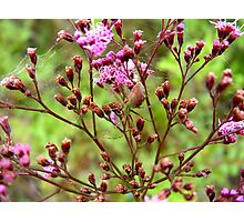 Lynx Spider in the Pink Photographic Print