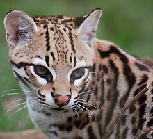 ocelot by Dave Hall