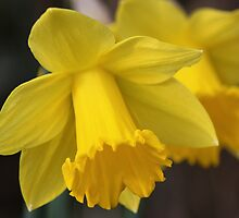 Daffodils by Rosemariesw