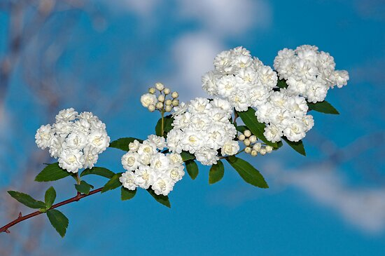Bridal Wreath Bough Against the Sky by Bonnie T.  Barry