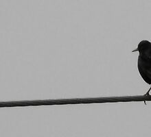 Bird on a Wire by sternbergimages