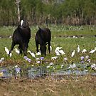 Brumbies on the floodplain (Kakadu) by InNature