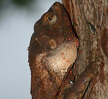 Flat to the tree (male frilled neck lizard) by InNature