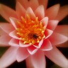 Water Lilly by Jennifer Craker